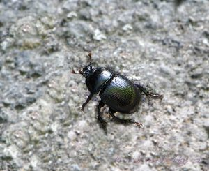 bug at Morske oko