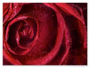 zamrznutá ruža-08-06-2020