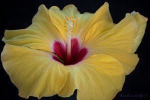 hibiscus-2020-04-14