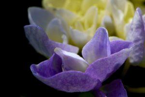 rozkvitajúca hortenzia
