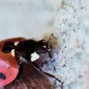 ladybug-21-04-2020