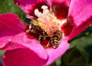 včely na ibišteku